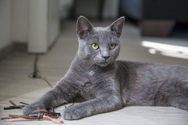 кошка - Порода корат
