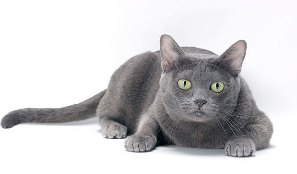серебристая кошка породы корат