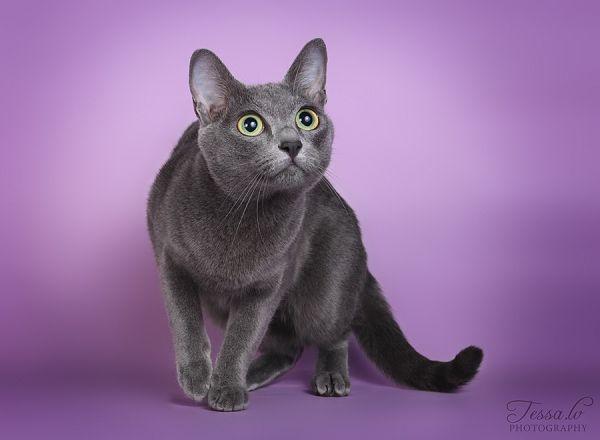 корат порода кошек