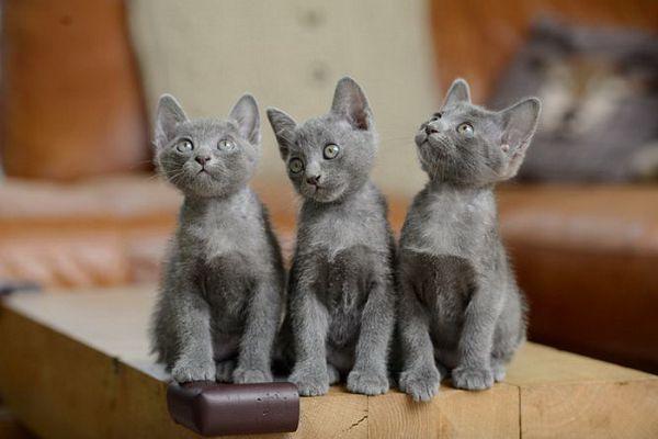 Корат – кошка счастья