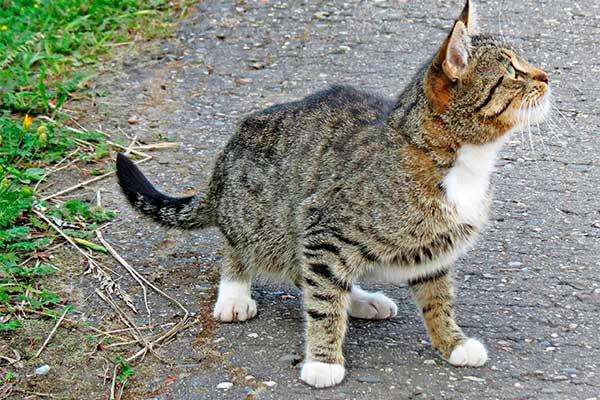 болит задняя лапа у кота