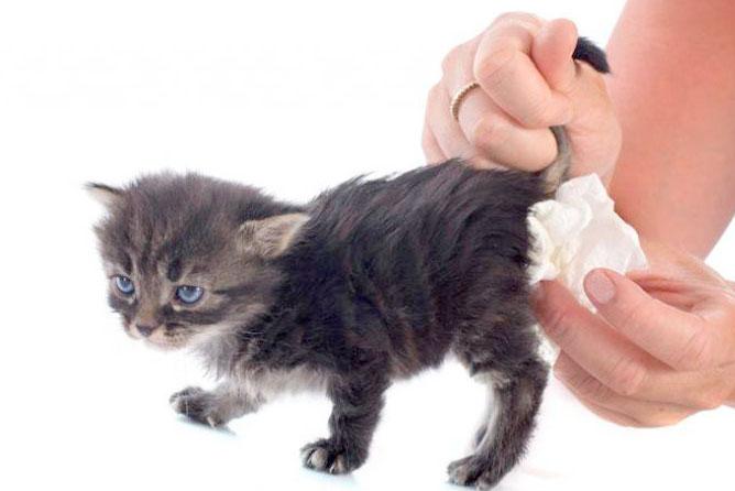 У котенка увеличена попа ипонос