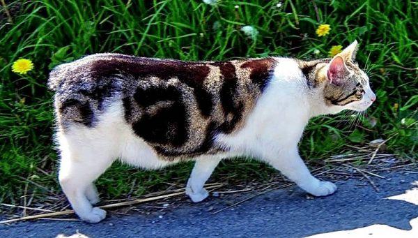 кошка мэнкс на улице