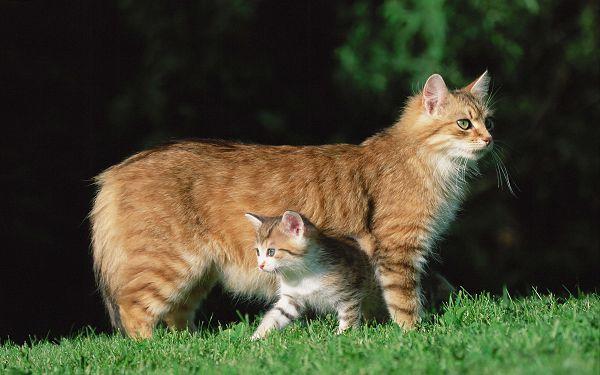 Мэнкс — кошка-кролик с острова Мэн