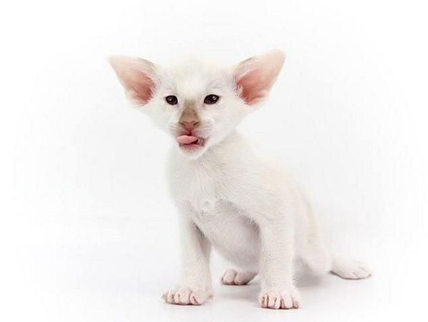 Сейшельская кошка - царственная особа