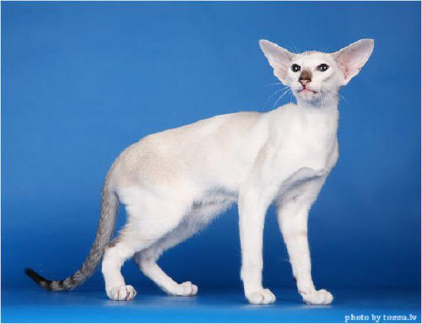 фото сейшельская кошка